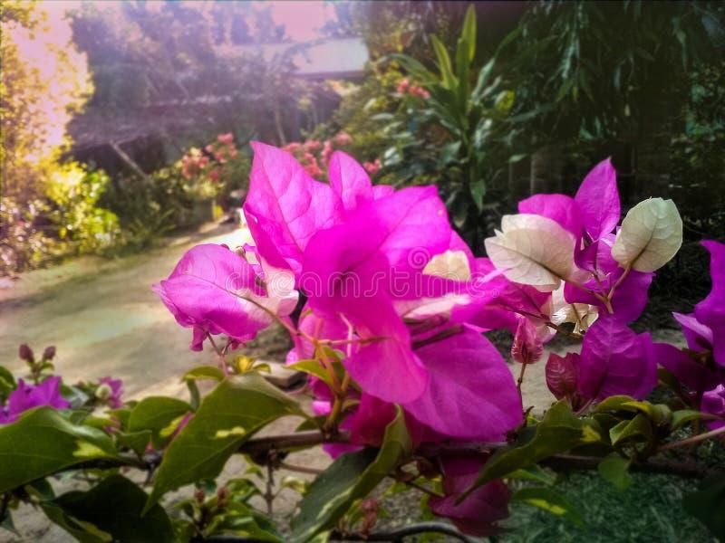 可爱的桃红色九重葛庭院背景 图库摄影