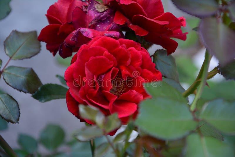 可爱的桃红色花绽放在春天 库存图片