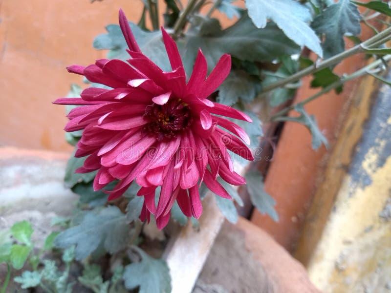 可爱的桃红色花 库存图片