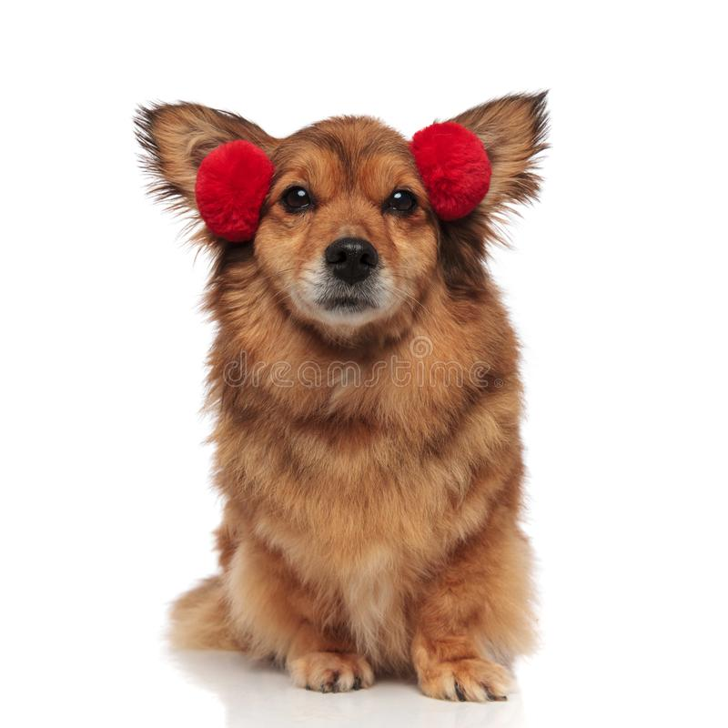 可爱的棕色metis狗准备好冷气候 免版税库存照片