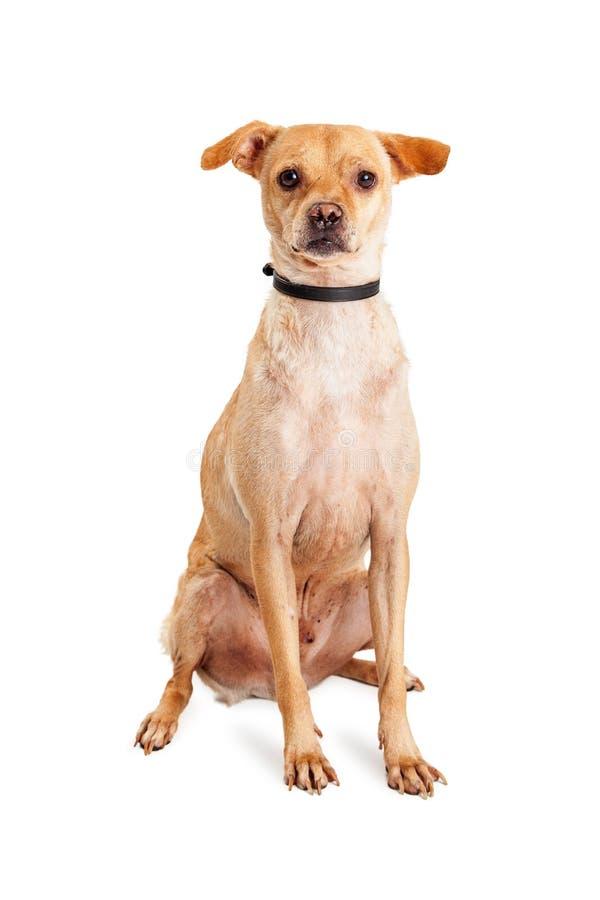 可爱的殷勤奇瓦瓦狗Crossbeed狗 免版税图库摄影