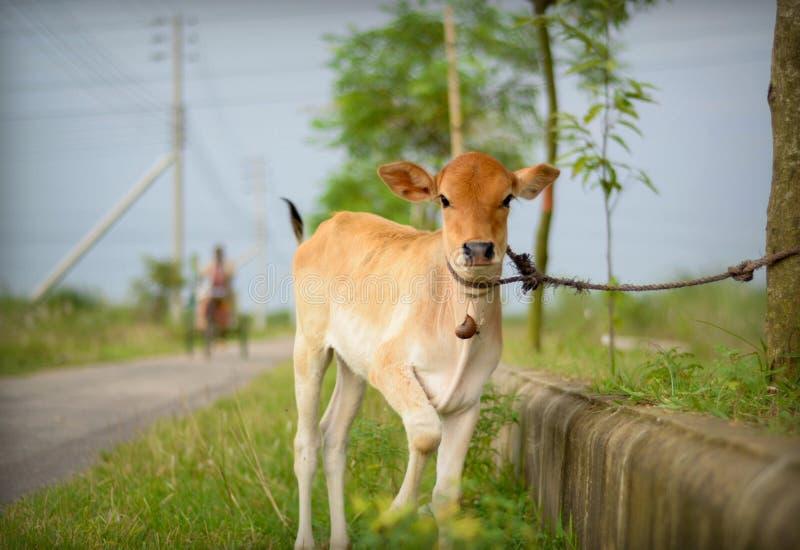 可爱的母牛 免版税库存照片