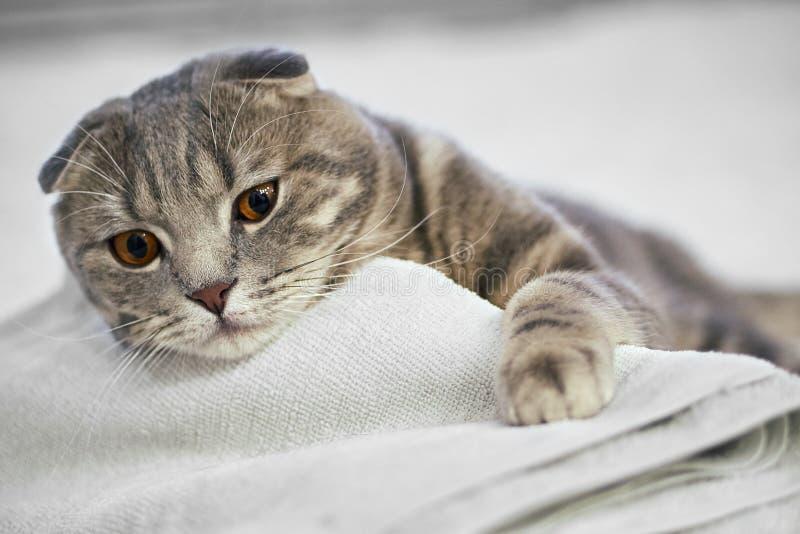 可爱的灰色苏格兰折叠虎斑猫是矮小的在白色床上在屋子里 免版税库存图片