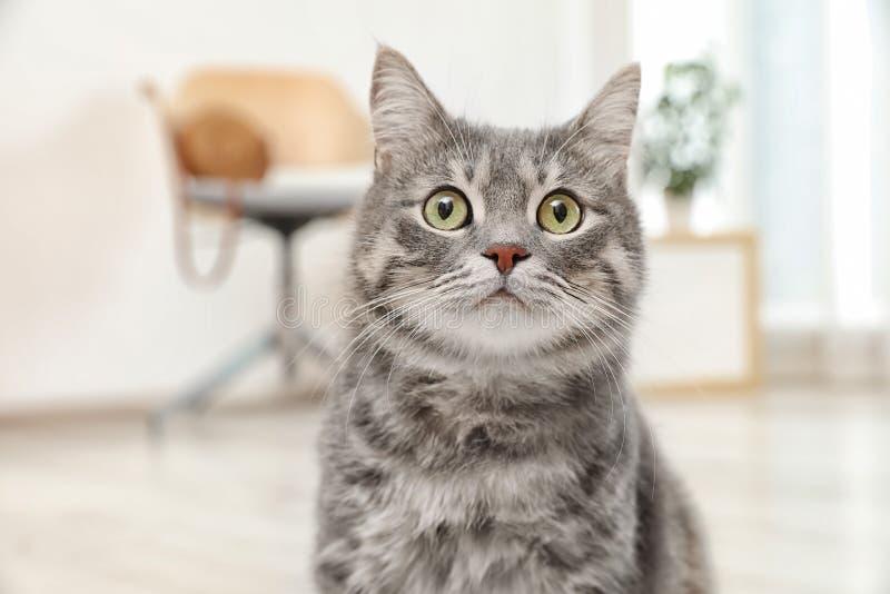 可爱的灰色虎斑猫 免版税库存照片