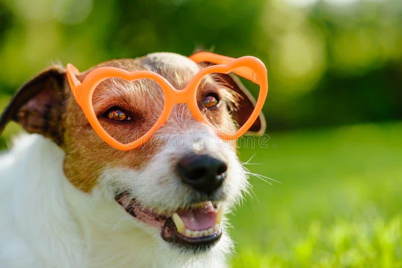 可爱的狗有与橙色心形的玻璃的情人节神色 免版税库存图片