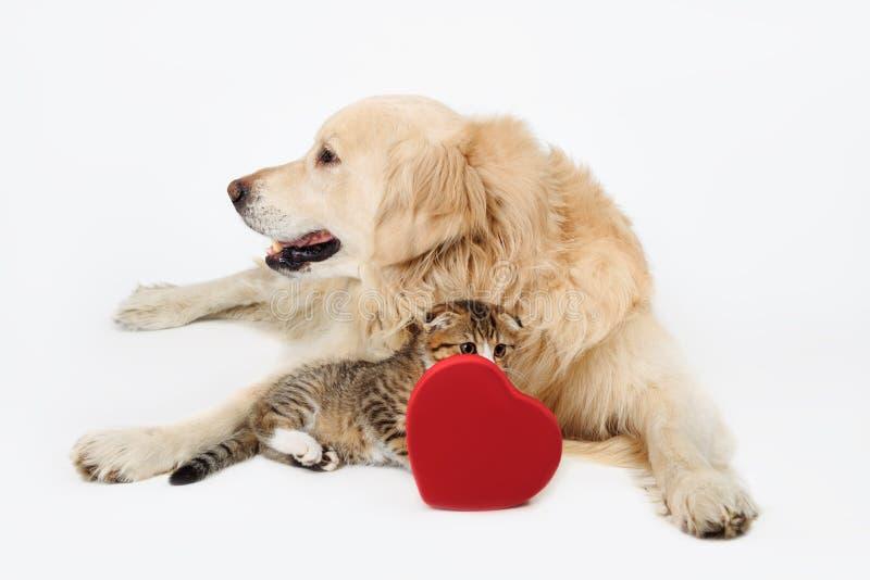 可爱的狗金毛猎犬和逗人喜爱的矮小的苏格兰人折叠与心脏形状箱子的小猫在白色backgroundand 概念亲吻妇女的爱人 图库摄影