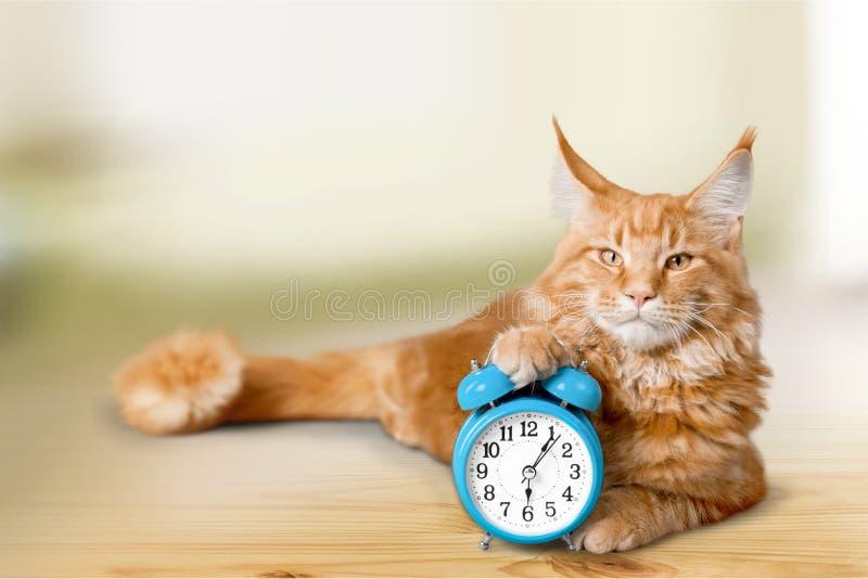 可爱的猫和闹钟 库存照片