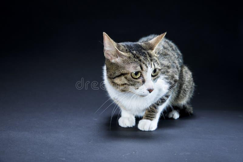 可爱的猫黑色背景 库存照片