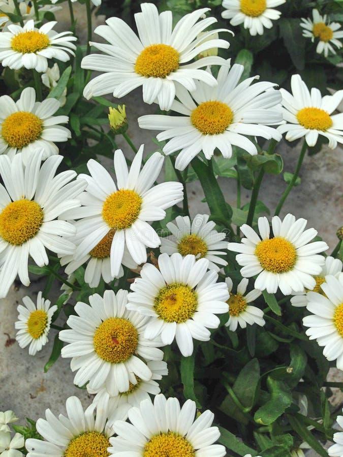 可爱的白色和yellwo延命菊雏菊花 库存图片