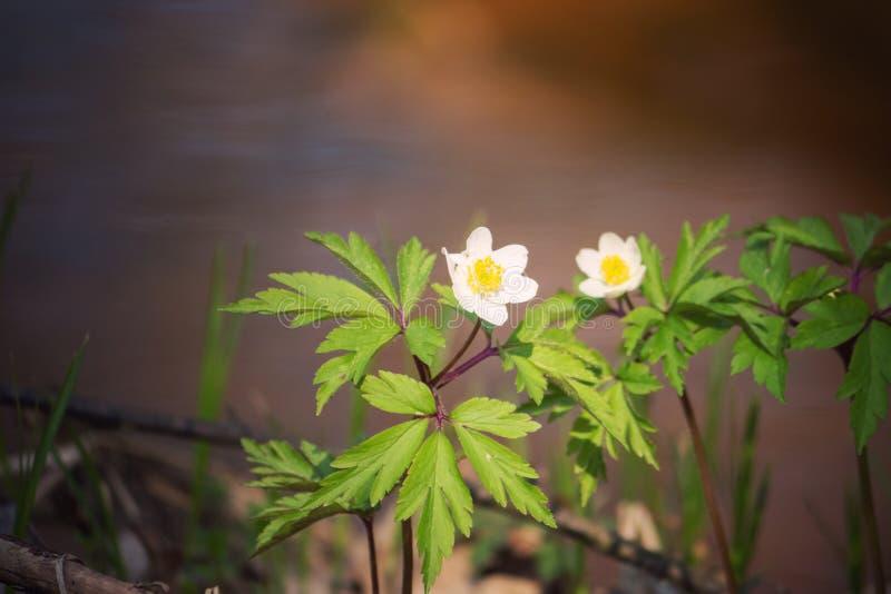 可爱的白色春天花银莲花属nemorosa在森林里,花卉背景 库存图片