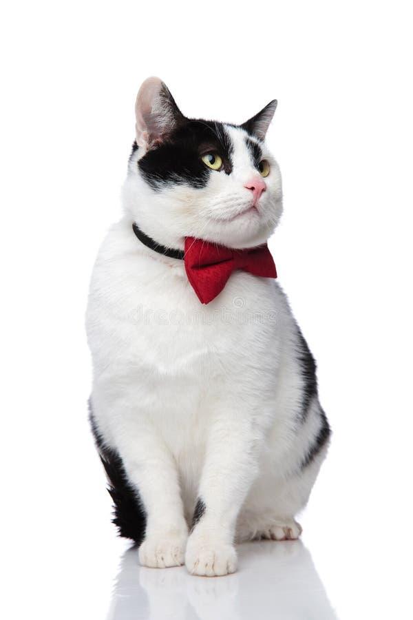 可爱的看对边的开会黑白猫 库存图片