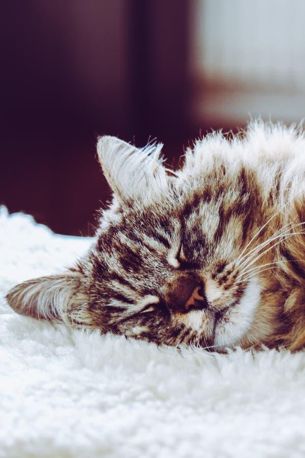 可爱的睡觉猫 灰色全部赌注采取休息 动物睡眠,动物休息 逗人喜爱的动物 波斯猫在白色蓬松说谎 库存图片