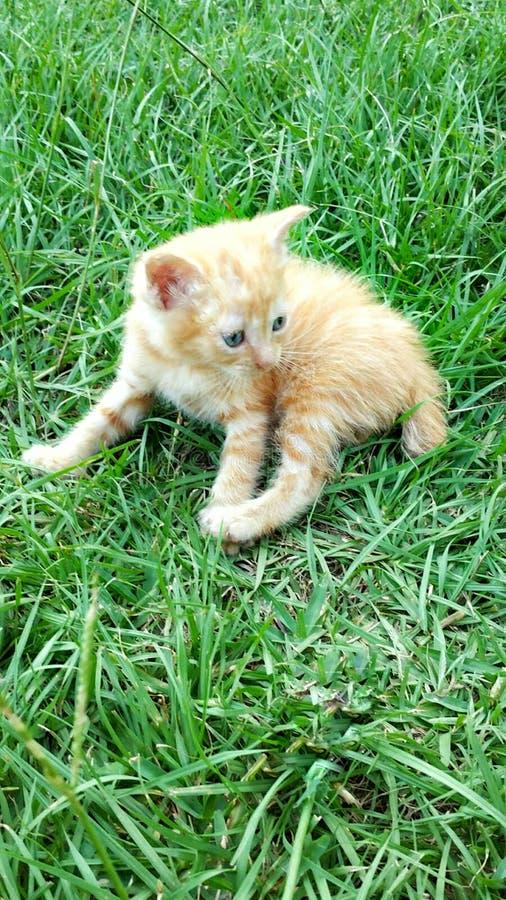 可爱的短尾的小猫 免版税库存图片