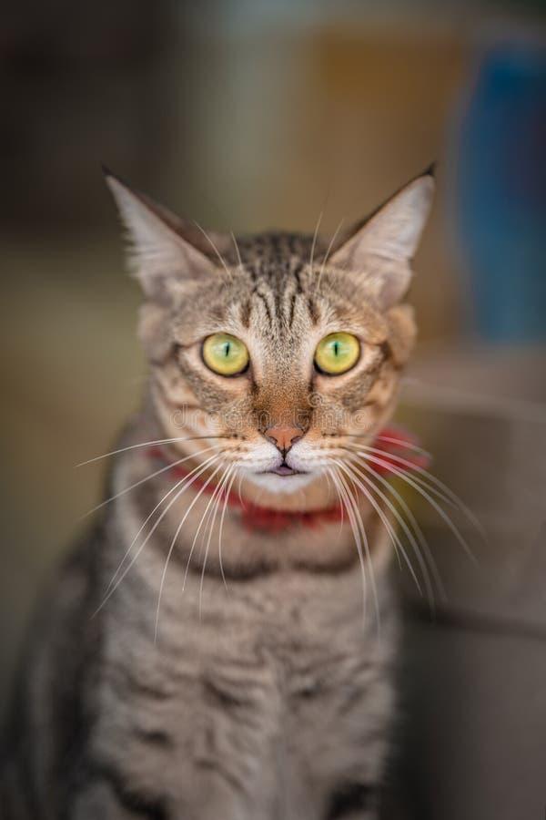 可爱的笨拙和健康猫 免版税库存图片