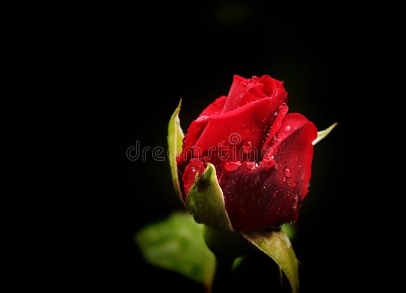 可爱的红玫瑰。雨后,我拍了这张美丽的玫瑰的照片。这朵花真神奇,浪漫,可爱 免版税库存图片