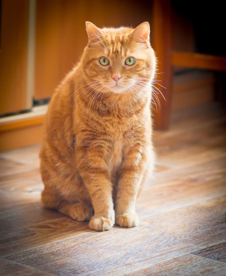 可爱的红色猫。 库存图片