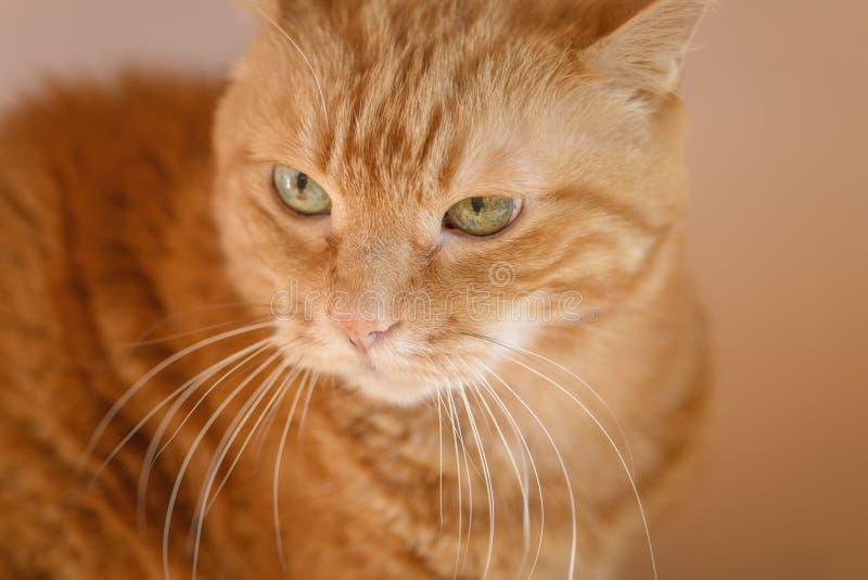 可爱的红色猫 免版税库存照片