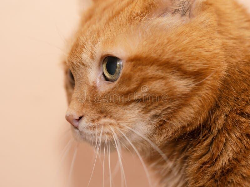 可爱的红色猫 免版税库存图片