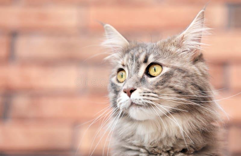 可爱的缅因树狸猫在家 库存照片