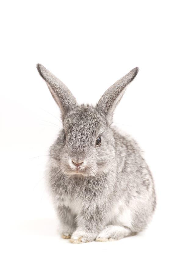 可爱的背景兔子白色 免版税库存照片