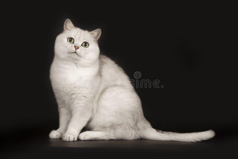 可爱的英国与不可思议的嫉妒的品种白色猫坐被隔绝的黑背景 库存图片