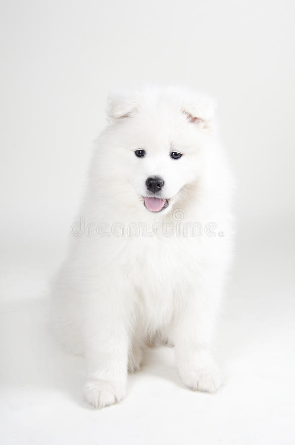 可爱的萨莫耶特人小狗 免版税库存图片