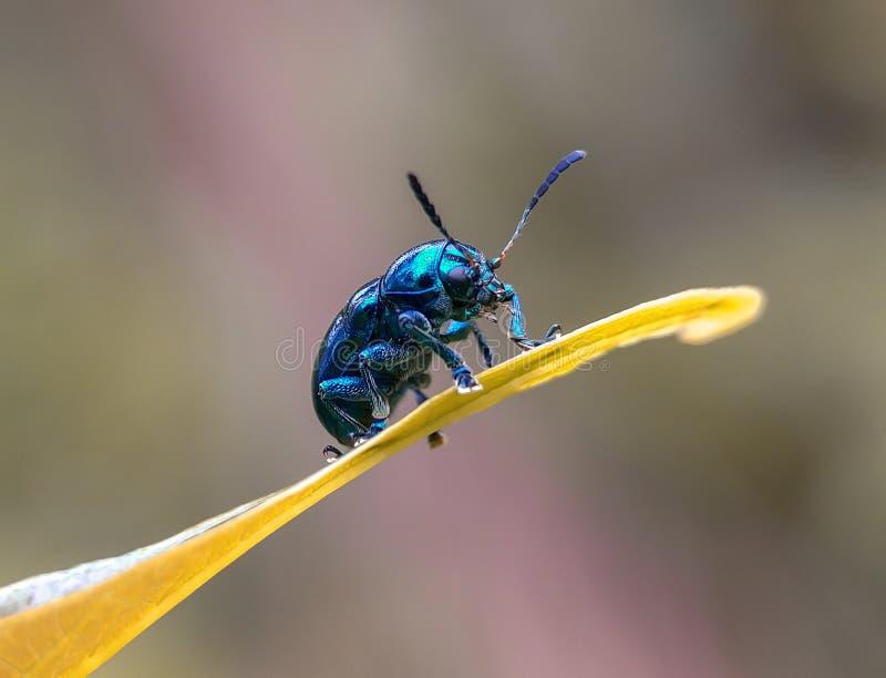 可爱的蓝色甲虫 库存图片