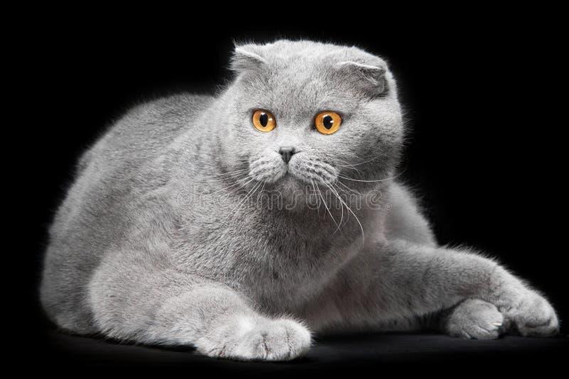 在黑背景的蓝色苏格兰人折叠猫 库存照片