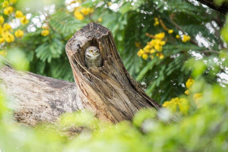 可爱的被察觉的猫头鹰之子放松对此树凹陷 免版税图库摄影