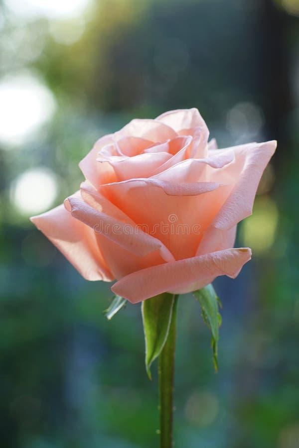 可爱的软的橙色粉色上升了花有迷离绿色庭院背景,甜华伦泰当前概念 库存图片