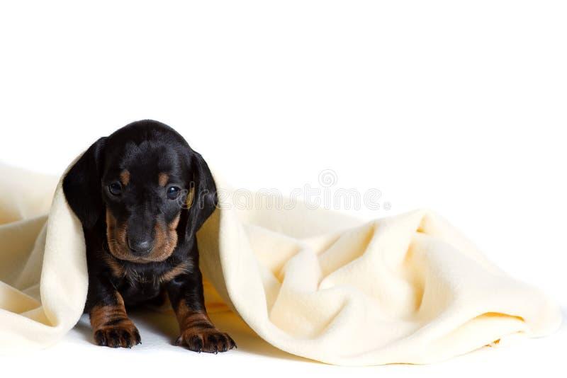 可爱的达克斯猎犬puppie从软的温暖的毯子下面看  取暖在床上 隐藏从寒冷 免版税库存图片