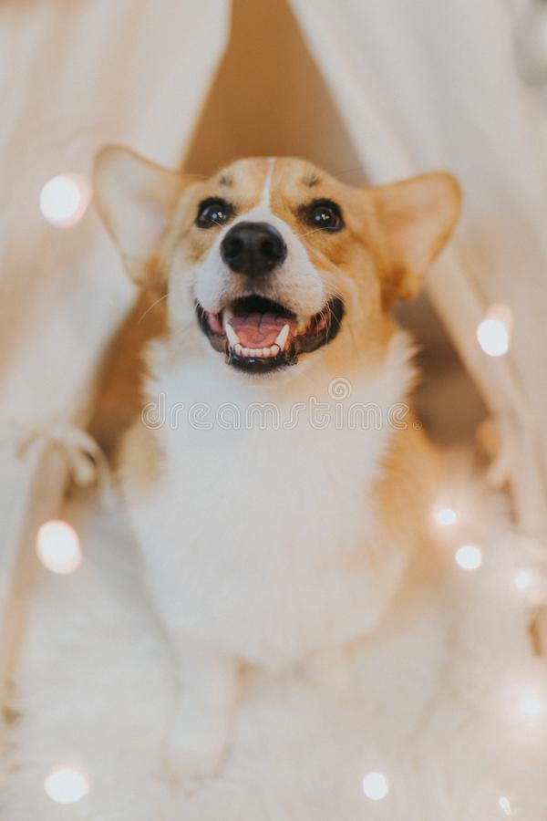 可爱的逗人喜爱的家养的彭布罗克角威尔士小狗小狗 图库摄影