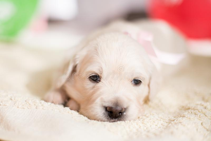 可爱的金毛猎犬小狗女孩画象有说谎在地板上的玫瑰色丝带的 图库摄影