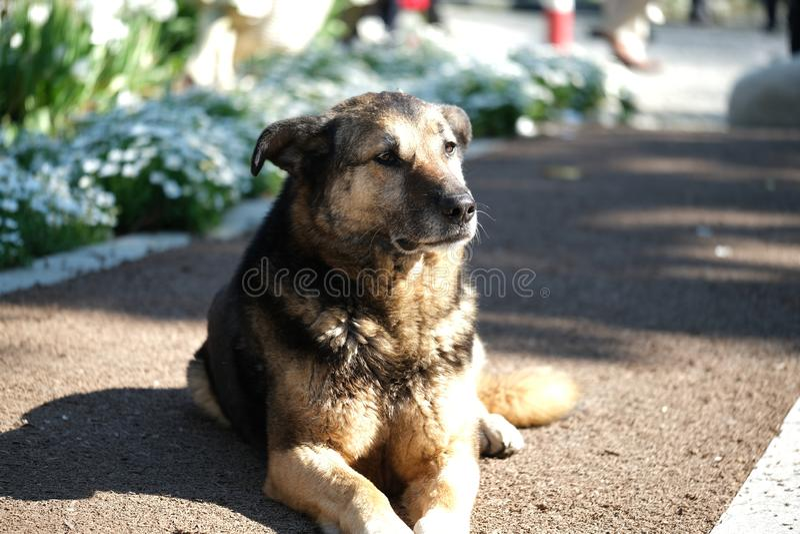 可爱的金毛猎犬狗外形画象在道路说谎在公园 免版税图库摄影