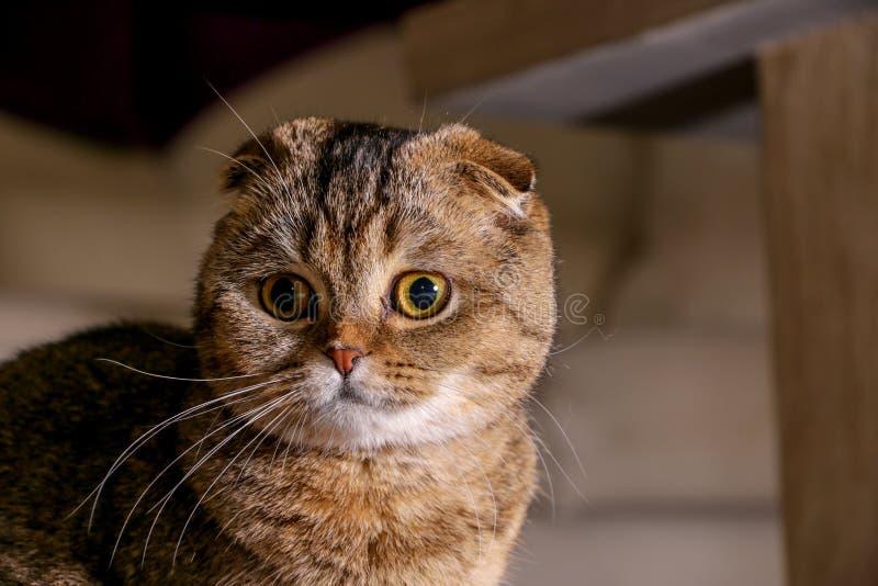 可爱的金黄黄鼠苏格兰折叠猫 免版税库存图片