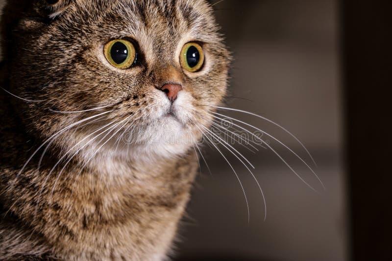 可爱的金黄黄鼠苏格兰折叠猫 免版税库存照片