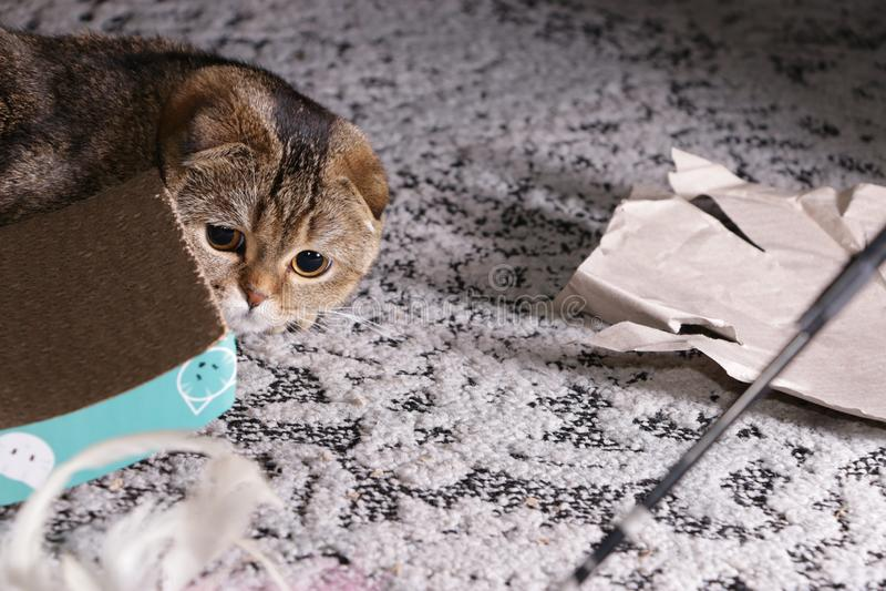 可爱的金黄黄鼠苏格兰折叠猫 库存照片