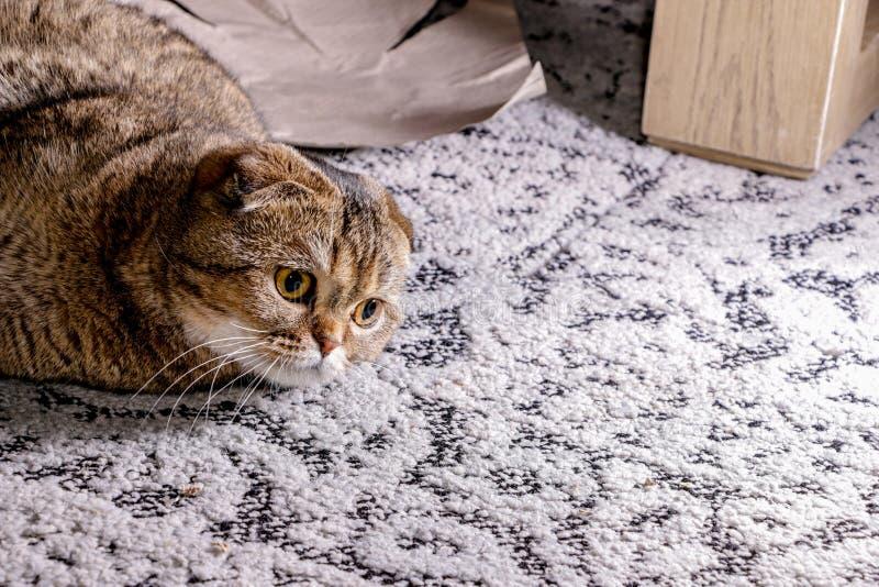 可爱的金黄黄鼠苏格兰折叠猫 免版税图库摄影