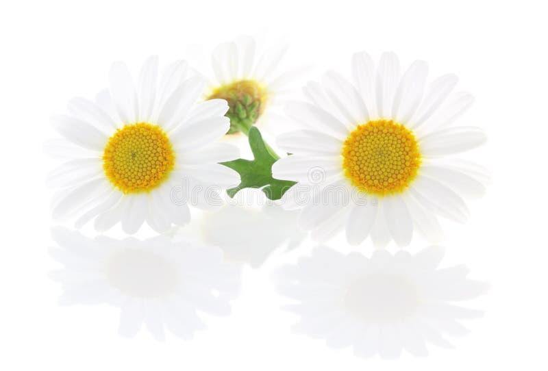 可爱的雏菊延命菊被隔绝,包括裁减路线,不用反射 免版税库存照片