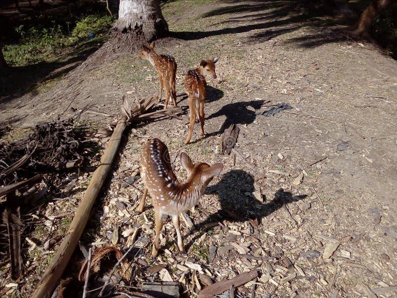 可爱的鹿 免版税图库摄影