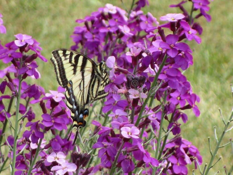 可爱的黄色在伊利沙伯王后公园庭院的老虎swallowtail蝴蝶授粉的花 图库摄影