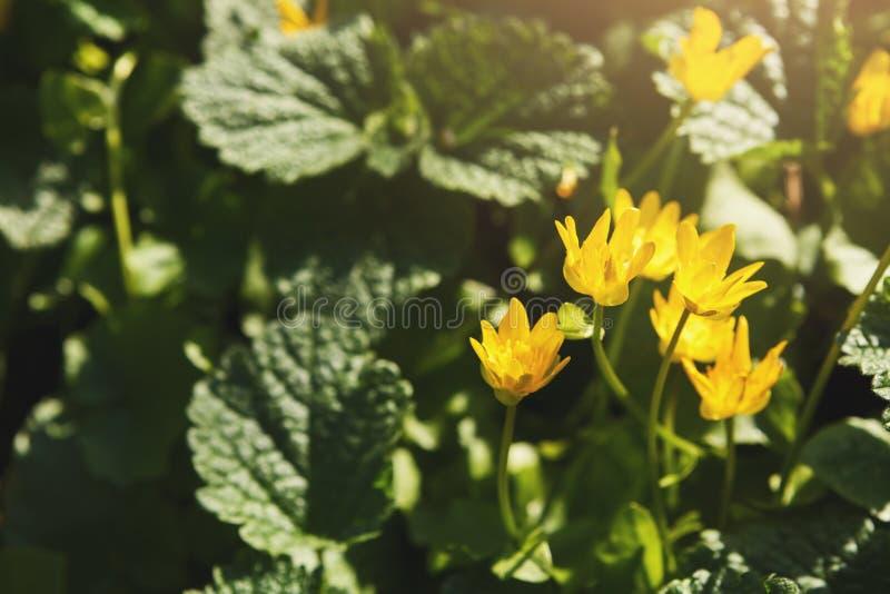 可爱的黄色春天开花特写镜头 背景花光playnig 免版税库存照片