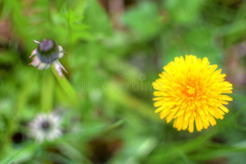 可爱的黄色花和绿草 库存图片