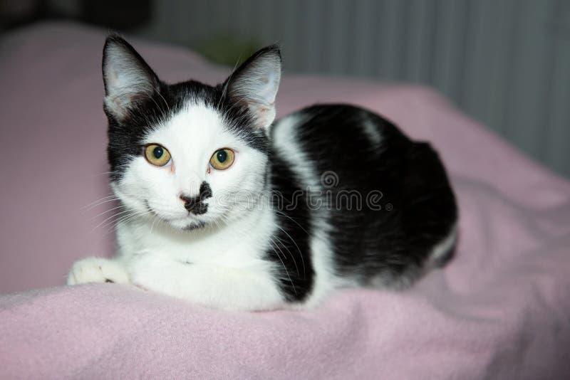 可爱的黑白猫,绿眼睛躺在粉色沙发上,看着相机 免版税库存照片