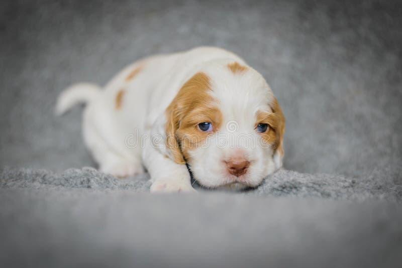 可爱的4只星期的猎犬小狗 免版税库存照片
