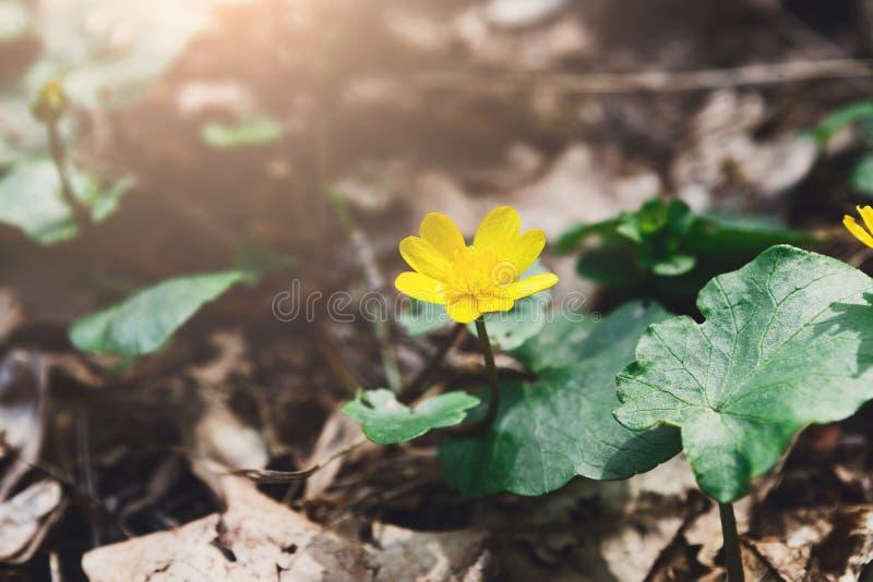 可爱的黄色春天花特写镜头 背景花光playnig 库存照片