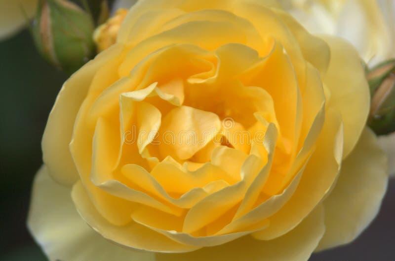 可爱的黄色玫瑰 库存照片
