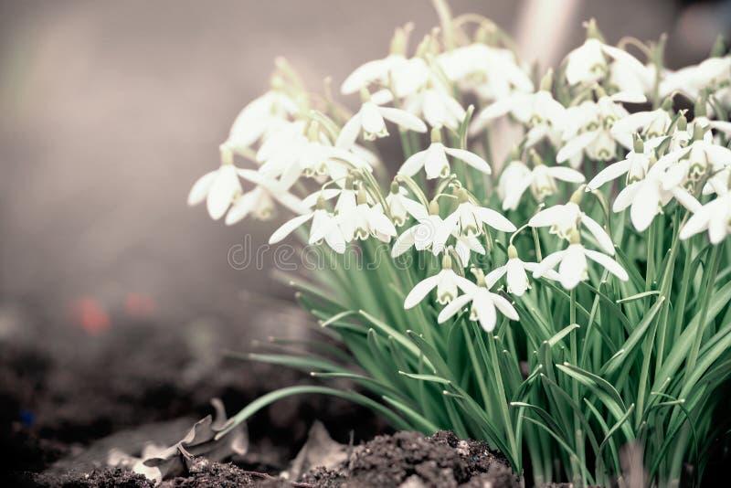 可爱的snowdrops花,春天自然 库存照片