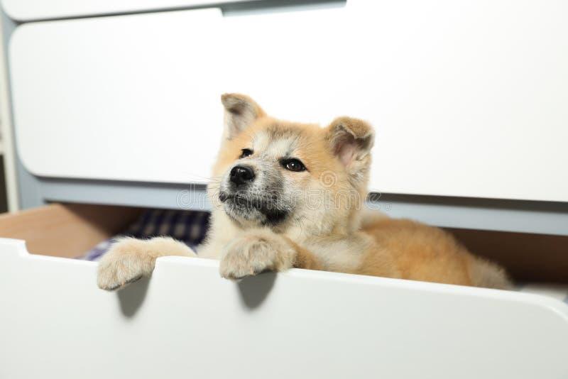 可爱秋田Inu小狗使用 库存图片