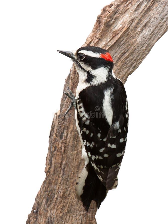 可疑啄木鸟 免版税库存照片